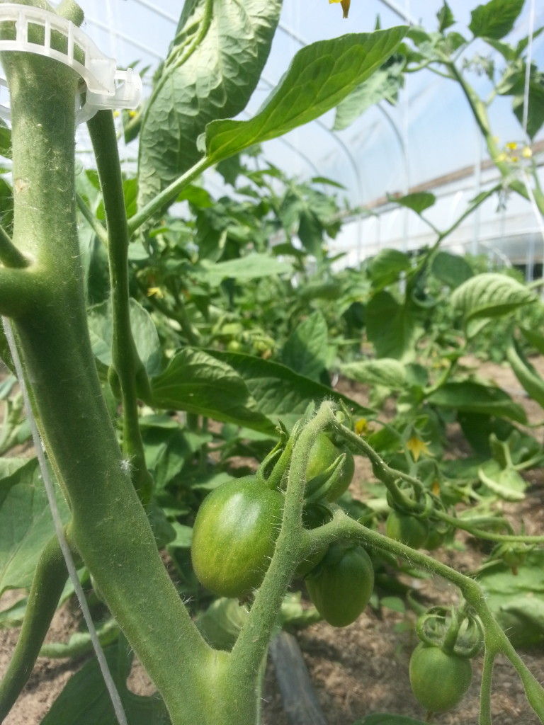 Tomatoes on June 6th!