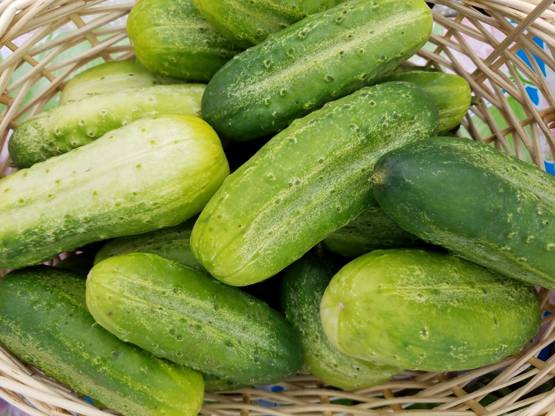 Cucumber_pickling_small